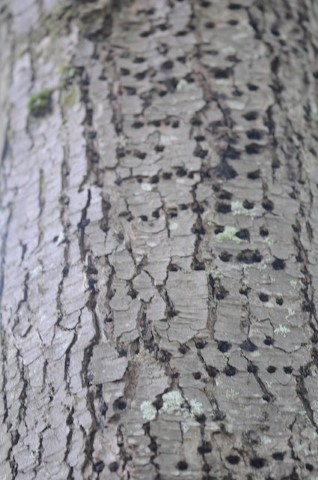 Symmetrical holes in the trunk of a western hemlock tree are caused by woodpeckers and sapsuckers looking for insects