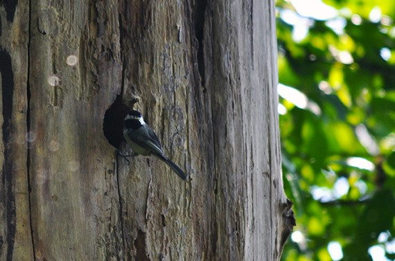 A black-capped chickadee perches outside her nest.