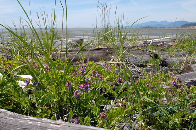 Sand dune plants at Iona Beach Regional Park are part of one of the rarest ecosystems in BC.
