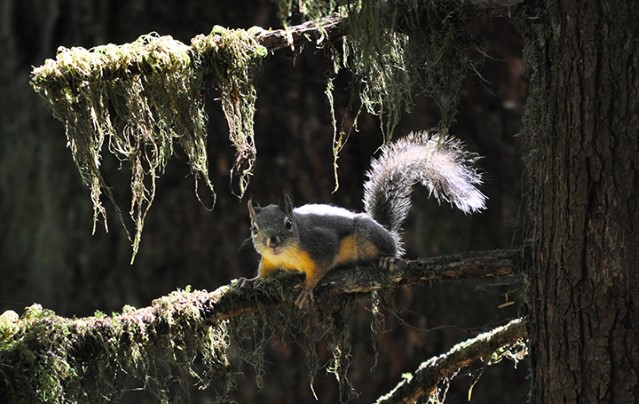 A curious Douglas squirrel clambers out on a lichen covered branch to see what's going on in its neighbourhood.