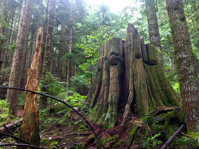 A massive stump is all that remains of one of the giant trees that grew in the old growth forests of what is now Lynn Headwaters Regional Park.