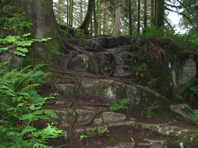 The roots of giant trees are wrapped around rock along the trail at Minnekhada Regional Park