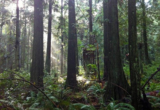 Sunlight sneaks in to the forest understorey at Pacific Spirit Regional Park.