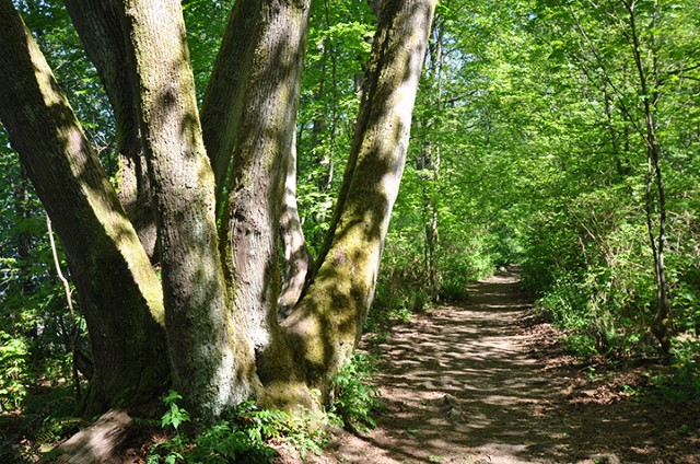 In summer, the leaves of bigleaf maples and red alders allow dappled sunlight to fall on Admiralty Trail as it winds its way along the clifftops above Spanish Bank beaches.