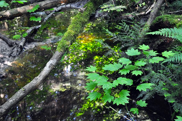 Vine maple, western red cedar and spiny wood fern are just some of the native species found in the temperate rainforest in Pacific Spirit Regional Park.